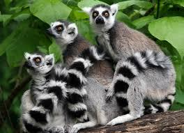 Lemurs Tour Packages